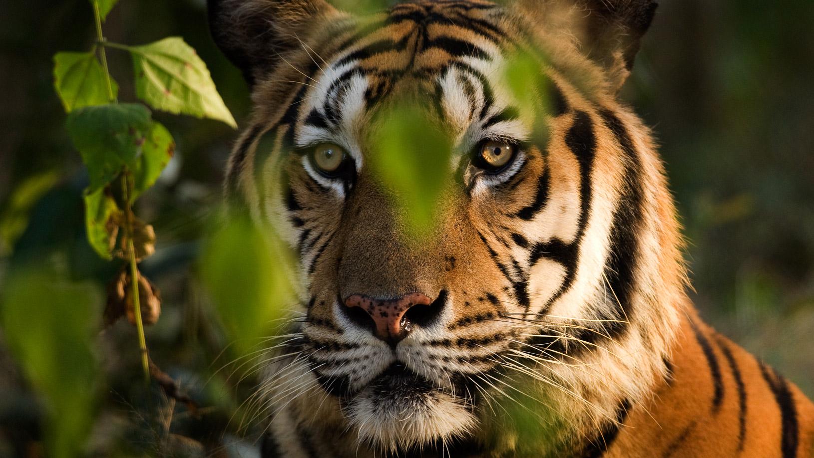 home-page-slider-tiger-2