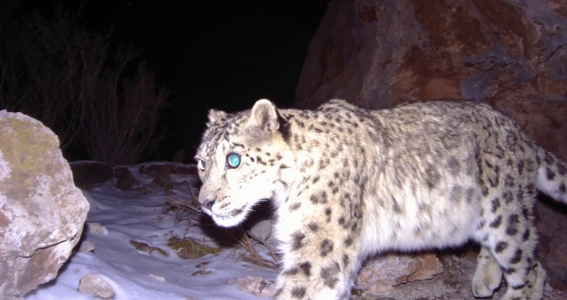Snow leopard (camera trap)