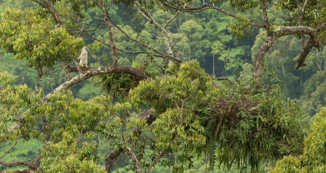 Philippine eagle and nest ©Klaus Nigge