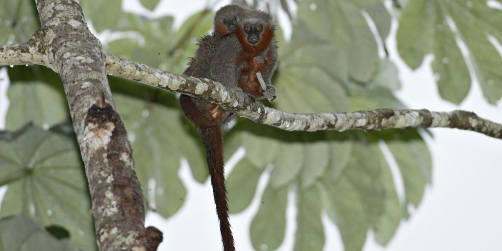 Titi-monkey-cropped-for-Facebook