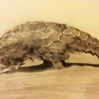Chinese Pangolin © Isabelle Masters