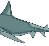 Sandbar shark © Isabelle Masters