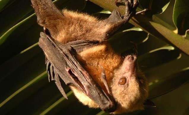 The endemic Nicobar flying fox ©Bandana Aul