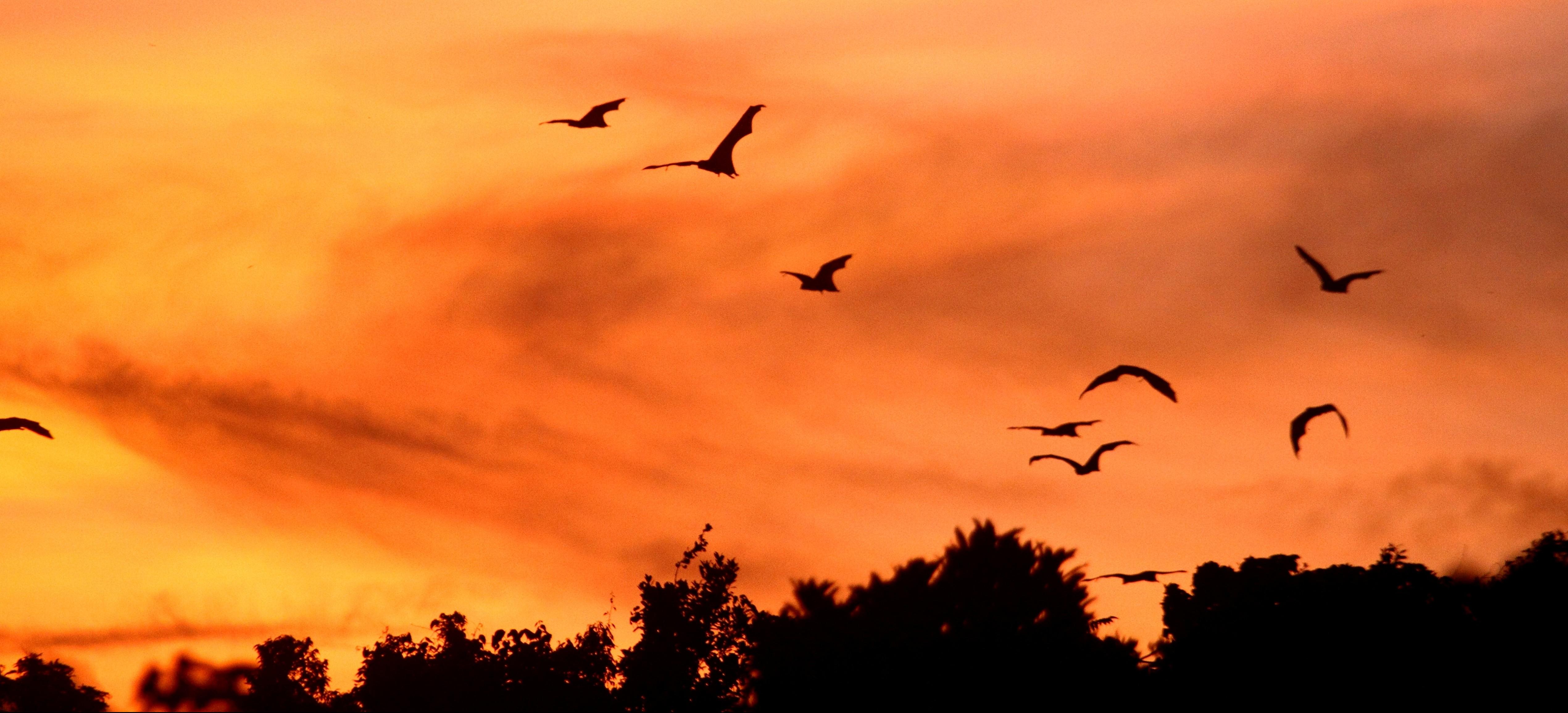 Flying foxes at sunset_P. Godfrey Jakosalem