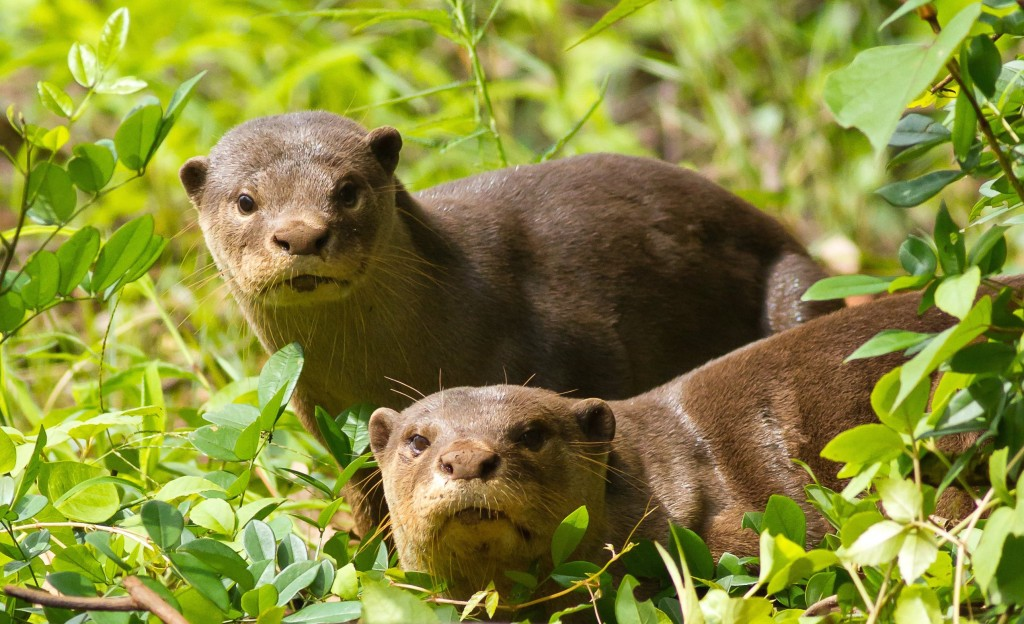 otter exchange smooth coated otters
