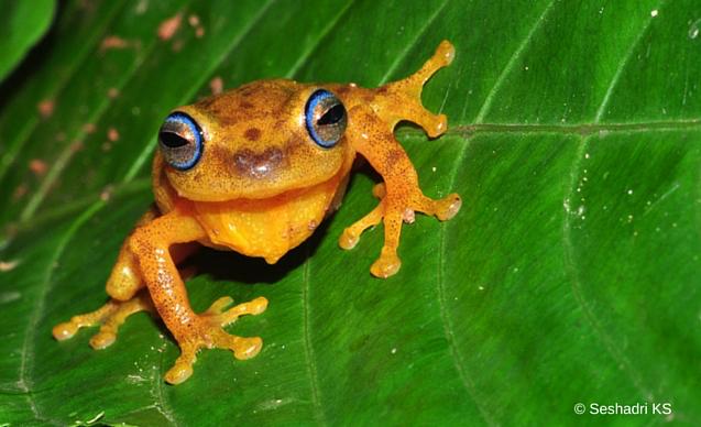CLP News Embedded image - yellow bush frog