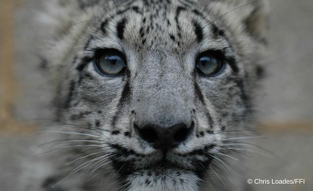 snow leopard CLP News Embedded image