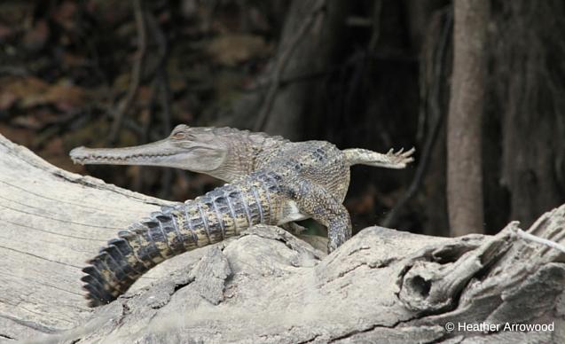 CLP News Embedded images - Gabon croc