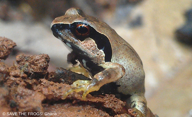 CLP News Embedded images - Squeaker frog