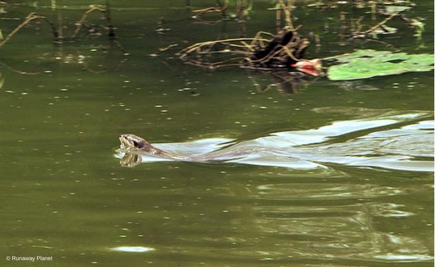 CLP News Embedded images - Anirban otter swim