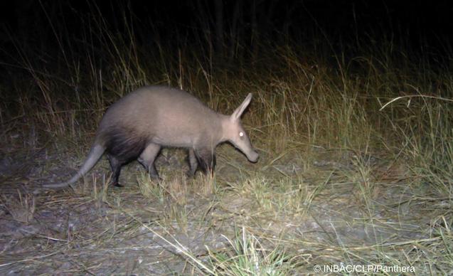 clp-news-embedded-images-angola-aardvark