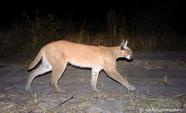 clp-news-embedded-images-angola-caracal