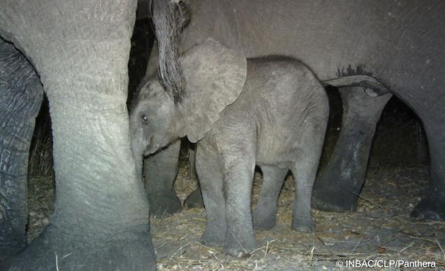 clp-news-embedded-images-angola-elephant