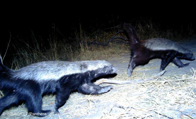 clp-news-embedded-images-angola-honey-badger