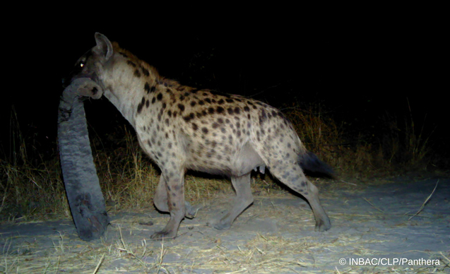 clp-news-embedded-images-angola-hyena