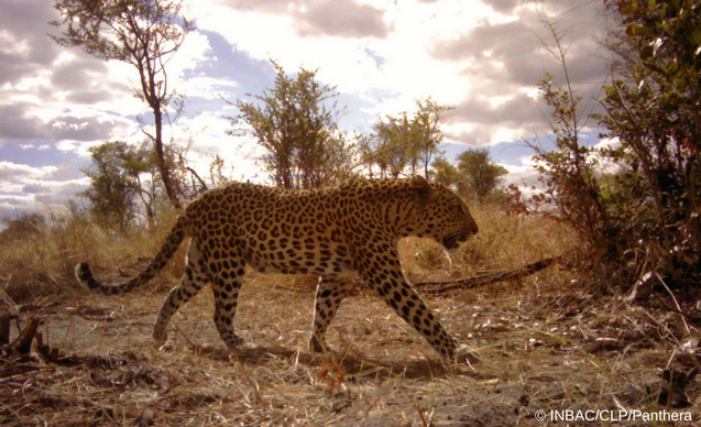 clp-news-embedded-images-angola-leopard