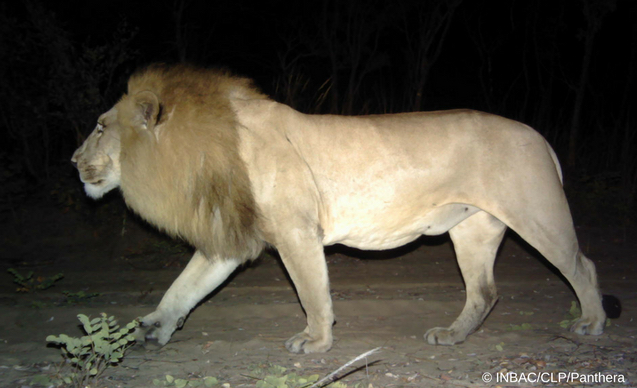 clp-news-embedded-images-angola-lion