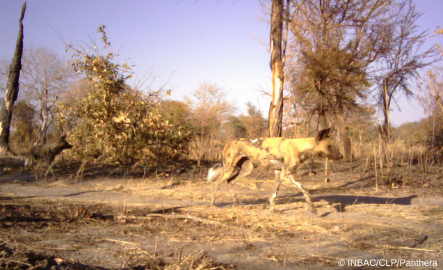 clp-news-embedded-images-angola-wild-dog