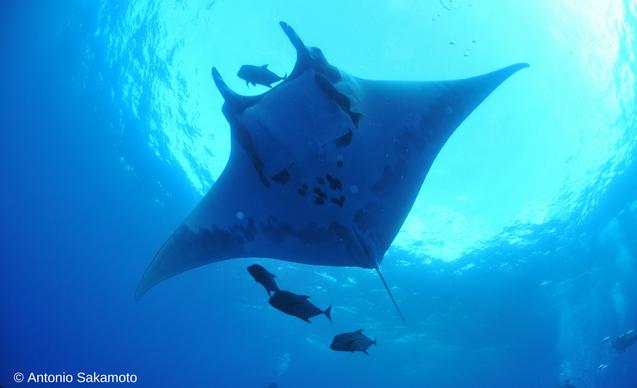 clp-news-embedded-images-malpelo-manta-ray