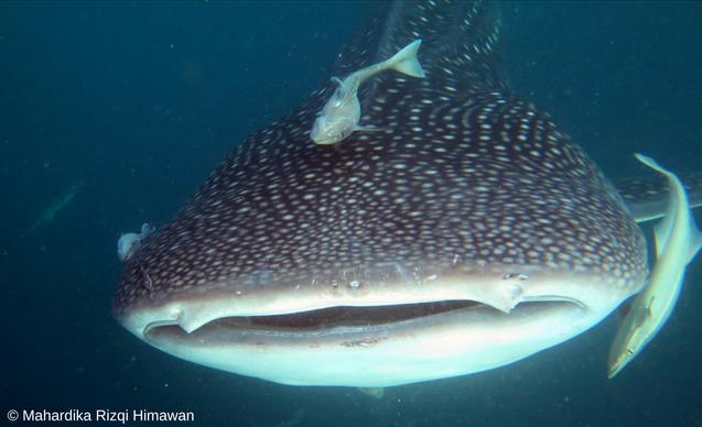clp-news-embedded-images-malpelo-shark-head