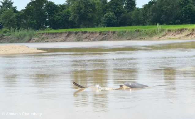 clp-news-embedded-images-river-dolphins