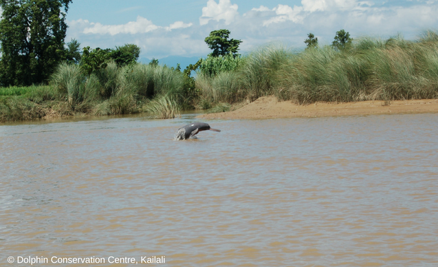 clp-news-embedded-images-river-dolphin-leap-2