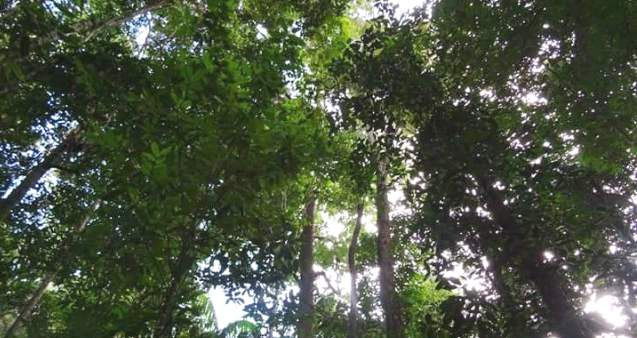 Population dynamics of Chlorocardium rodiei (Greenheart) in Guyana